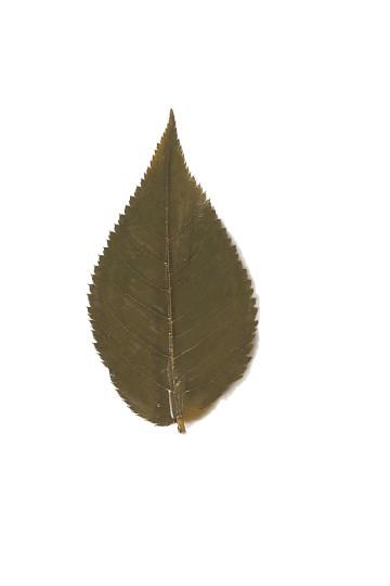 Salted sakura leaves (50 leaves)